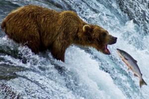 orso grizzly mangia un salmone