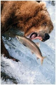 orso-con-salmone
