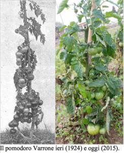 pomodoro-varrone